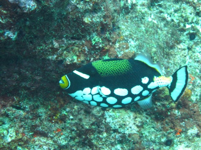 Clown triggerfish. Not so funny when it attacks you
