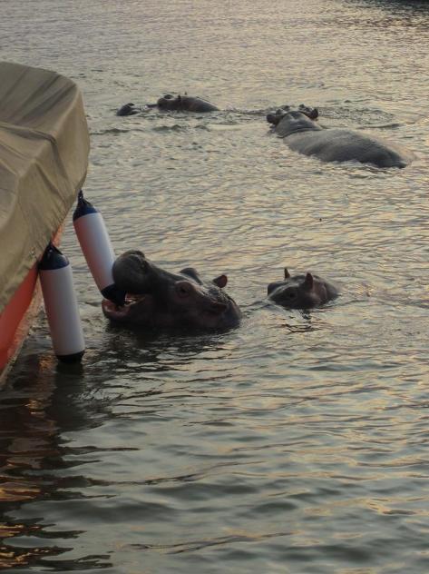 Hippos swim around Cercle Nautique café every day around 4:30pm